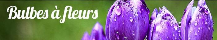 Cliquez ici pour voir les bulbes à fleurs Willemse