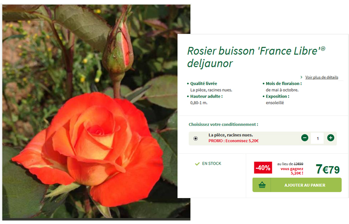Le rosier buisson France Libre